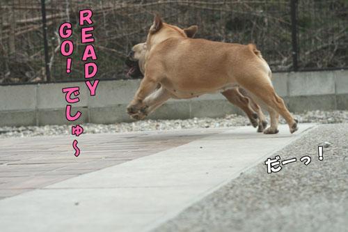 フレンチブルドッグ Bebe & コベベ 3