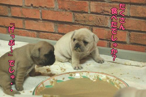 ブルドッグ フレンチブルドッグ 子犬 1