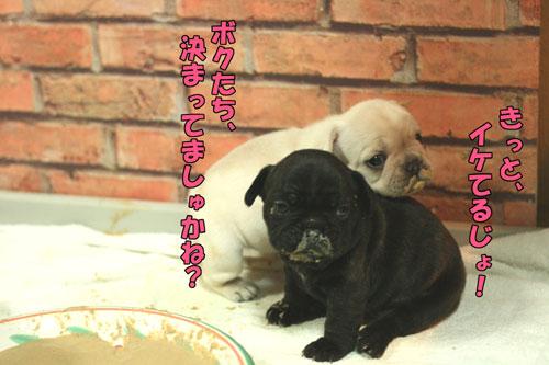 ブルドッグ フレンチブルドッグ 子犬 2