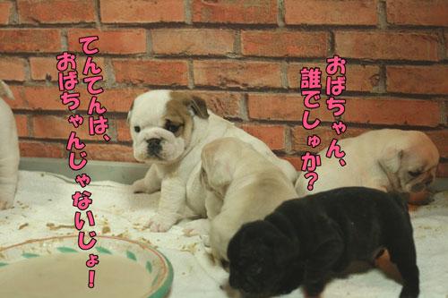 ブルドッグ フレンチブルドッグ 子犬 4