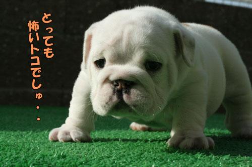 ブルドッグ 子犬 2