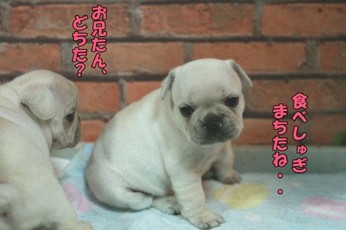 フレンチブルドッグ ブリーダー 子犬 7
