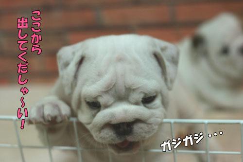 ブルドッグ 子犬 1