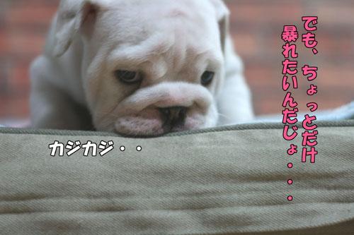 ブルドッグ 子犬 6