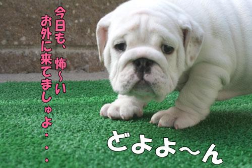 ブルドッグ 子犬 ブリーダー 1