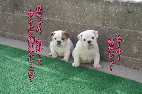 ブルドッグ 子犬 ブリーダー 2