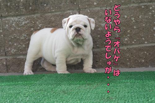 ブルドッグ 子犬 ブリーダー 5