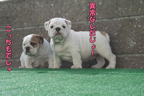 ブルドッグ 子犬 ブリーダー 7
