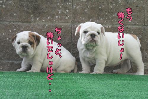 ブルドッグ 子犬 ブリーダー 8