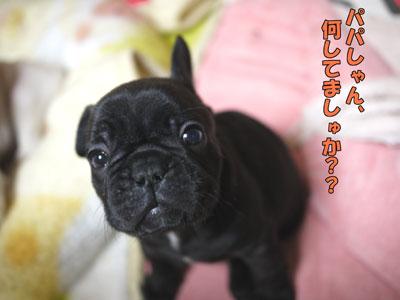 フレンチブルドッグ 子犬 ブリーダー 1