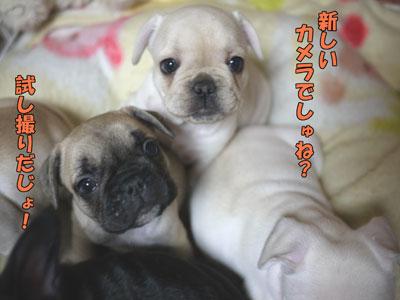 フレンチブルドッグ 子犬 ブリーダー 2