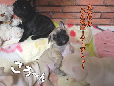 フレンチブルドッグ 子犬 ブリーダー 4