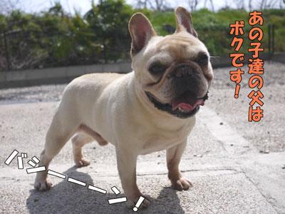 フレンチブルドッグ 子犬 1