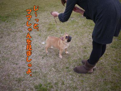 フレンチブルドッグ ドッグショー 2