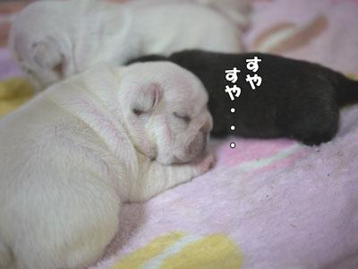 フレンチブルドッグ 子犬 ブリーダー 5
