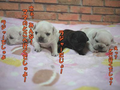 フレブル 子犬 2