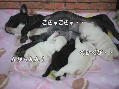 フレブル 子犬 3