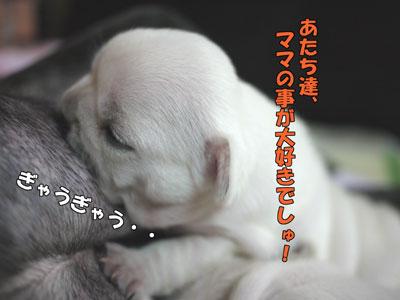 フレブル 子犬 4