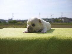 フレンチブルドッグ 子犬 チャンピオン a1