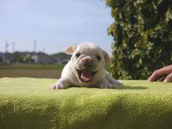 フレンチブルドッグ 子犬 チャンピオン a3