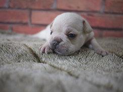 フレンチブルドッグ 子犬 10