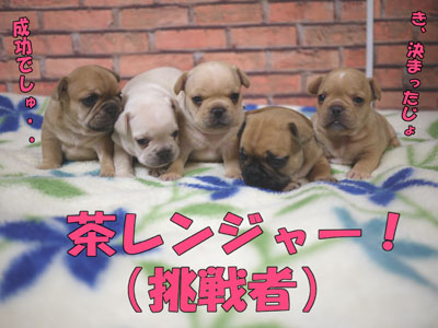 フレンチブルドッグ 子犬 9
