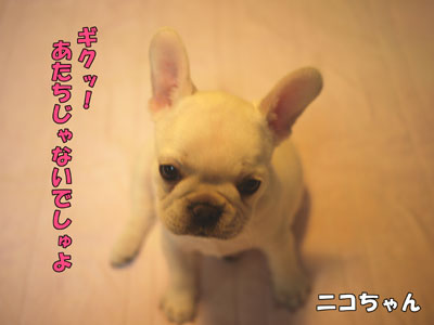 フレンチブルドッグ 子犬 5