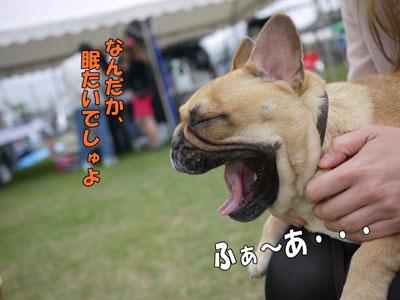 フレンチブルドッグ ドッグショー 3