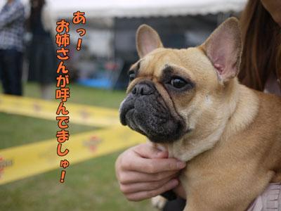フレンチブルドッグ ドッグショー 5