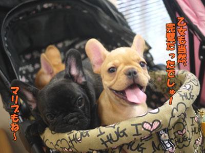 フレンチブルドッグ 子犬 7