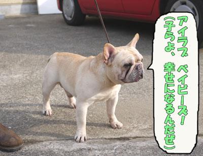 フレンチブルドッグ チャンピオン 3