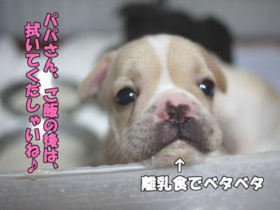 フレンチブルドッグ 子犬 6