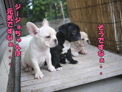 フレンチブルドッグ 子犬 3