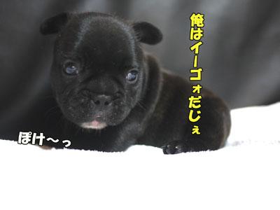 フレンチブルドッグ 子犬 4