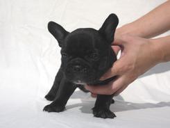 フレンチブルドッグ 子犬 a2