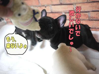 フレンチブルドッグ 子犬 8