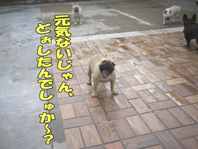 フレンチブルドッグ ブリーダー 3