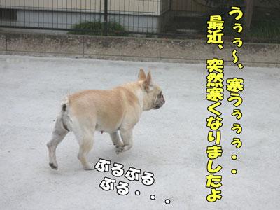 フレンチブルドッグ 1
