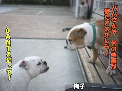 frenchbulldog  3
