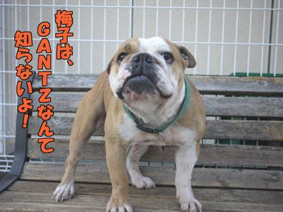 frenchbulldog  4