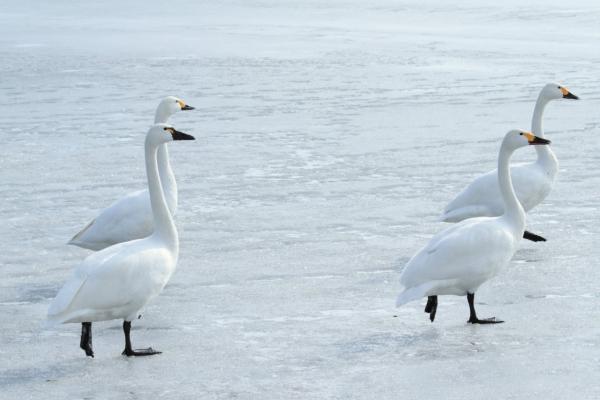 コハクチョウ_諏訪湖