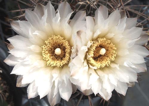 ギムノの花