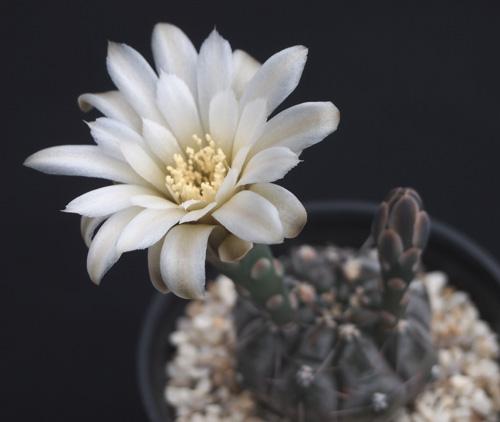 ベルチの花