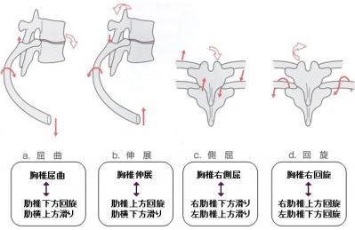 肋骨の関節運動