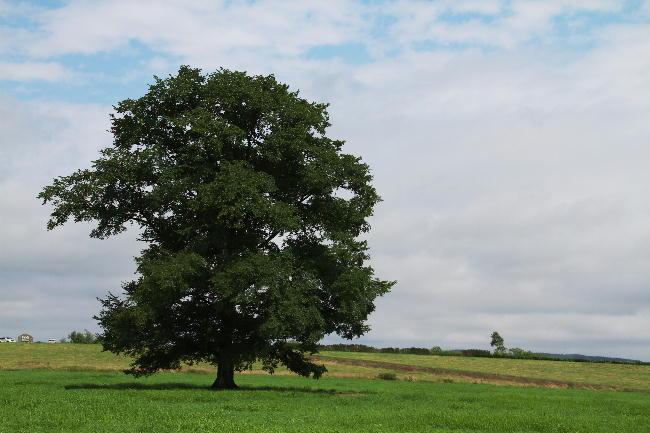 ハルニレの木-1