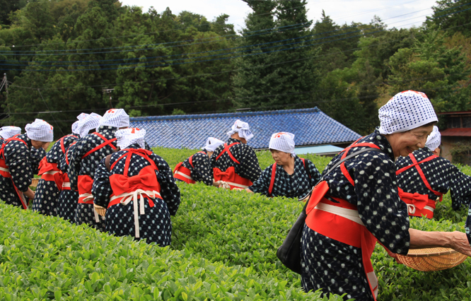 茶摘み婆-031-4