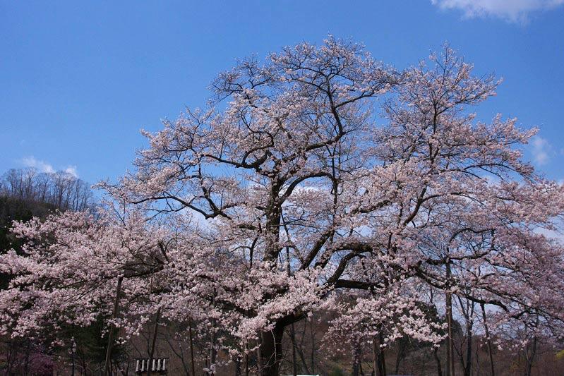 IMGPsakura3-282.jpg