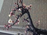 梅の花1302020