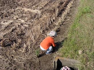 稲刈り後の田んぼでバッタを捕まえる息子