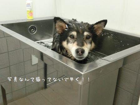本日シャンポーDAY②